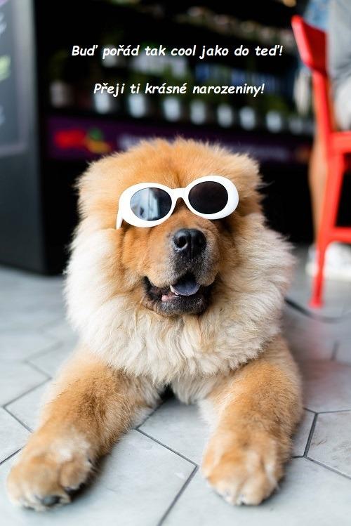 Ležící pes rasy čau-čau s nasazenými slunečními brýlemi s bílými obroučkami.