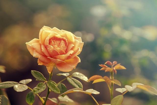 Přáníčko k svátku s růží.