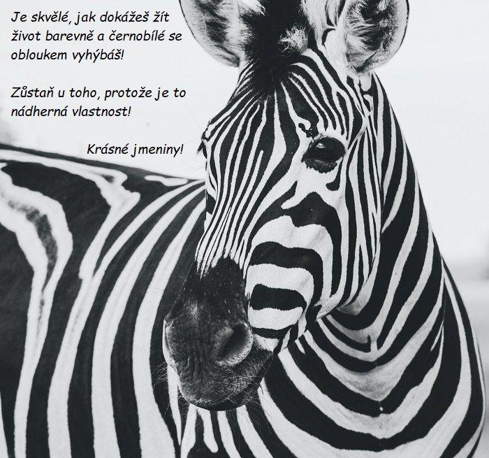 Zebra s nápisem, které vyjadřuje blahopřání k svátku.