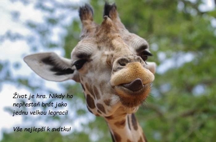 Hlava žirafy vyplazující jazyk.